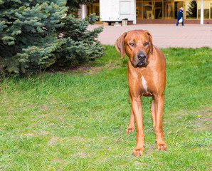 Rhodesian Ridgeback stands. Rhodesian Ridgeback is in the park.