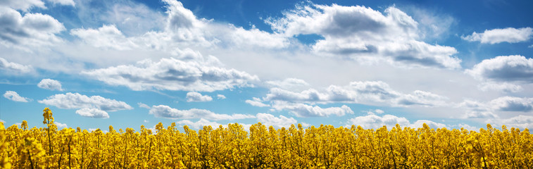 Fototapete - Rapeseed field panorama with beautiul sky