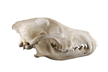 Skull of wild grey wolf  lateral view isolated on a white background. Closed mouth. Focus on full depth.