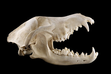 Skull of wild grey wolf  lateral view isolated on a black background. Almost fully opened mouth. Focus on full depth.