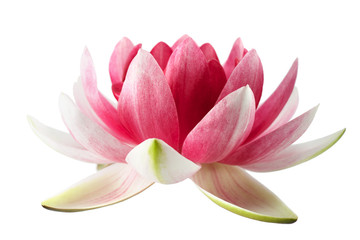 Lotus or water lily isolated