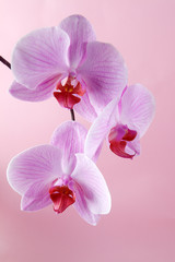 Pink orchid flowers on a pastel background