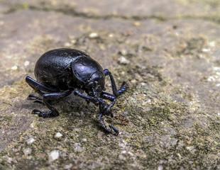 scarabeo nero lucido