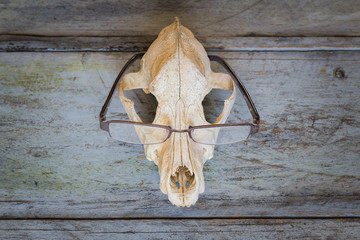 Still Life eyeglasses on Canine skull close up of wooden Background
