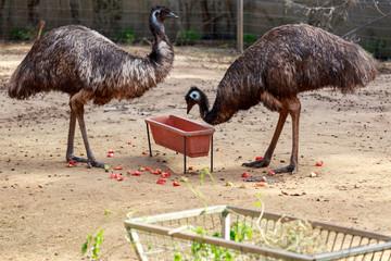Two emu