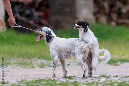 Accoppiamento setter inglese con cane meticcio immagini for Cane setter