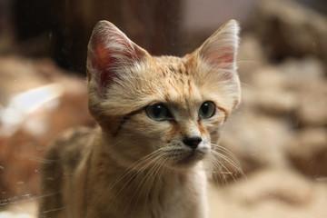 Wall Mural - Sand cat (Felis margarita).