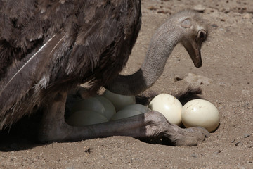 Ostrich (Struthio camelus) inspects its eggs in the nest.