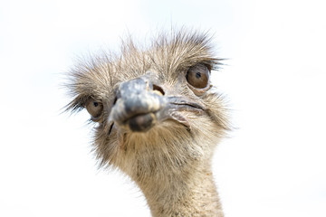 Close up view of an ostrich bird head