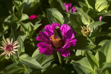 beautiful purple dahlia with butterfly