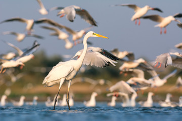 Great egret and gulls