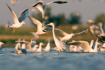 Little egret and gulls