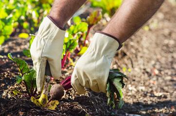 Planting and harvesting at an organic farm