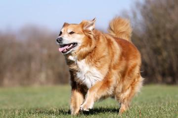 Golden retriever dog