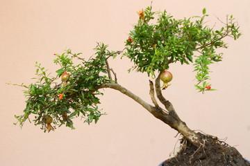 nar bonsasi