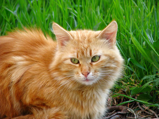 Cat with red fur