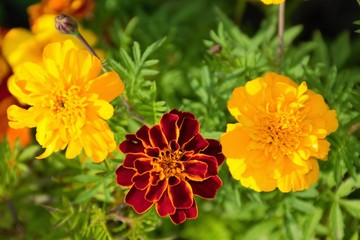 Three marigolds