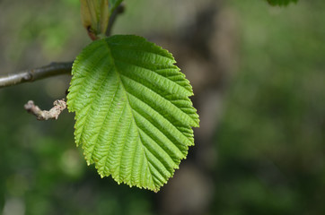 Leaf of hazel tree in early spring