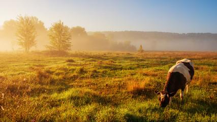 Foto op Plexiglas Koe cow grazing