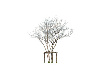 Help a almost dried tree in the park for alive by wood strut isolated on white background