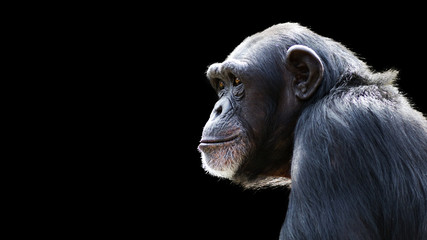 close up portrait of a daydreaming chimpanzee on a black background