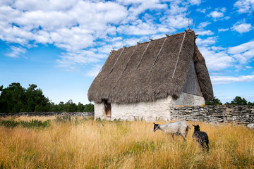 Old thatched roof barn and curly haired sheep native to Gotland, Sweden