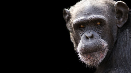 close up portrait of a chimpanzee on a black background