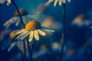 Beautiful chamomile flowers in sunset light