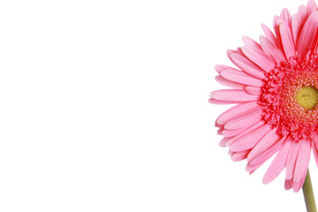 Pink daisy flower section photographed against white background