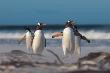 Group of four Gentoo Penguins (Pygoscelis papua) on the beach.
