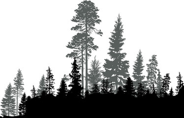 black coniferous forest isolated on white
