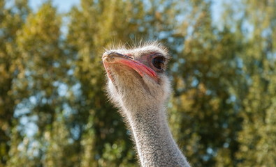 Portrait of little fluffy ostrich with big eyes