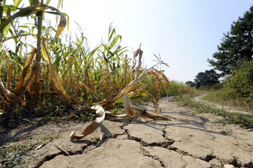 Drought at corn field