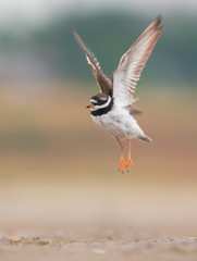 Common ringed plover in flight