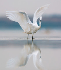Little egret, wings outstretched