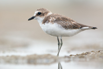Juvenile kentish plover