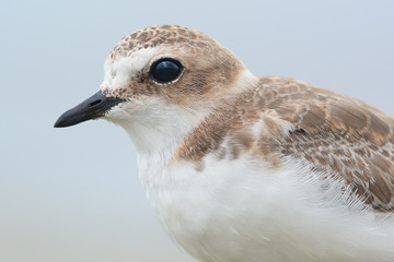 Kentish plover portrait