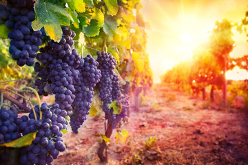 Poster Wijngaard vineyard with ripe grapes in countryside at sunset