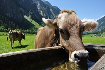 Kuh an Viehtränke in Tirol / Österreich