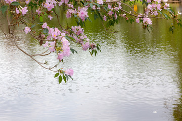 Pink Trumpet bloom on the pool