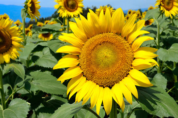 close-up of a beautiful sunflower in a field, Hokuto, Yamanashi, Japan