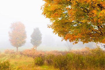 Maple trees during early morning fog on an autumn morning.