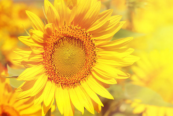 Beautiful sunflowers field with sunlight