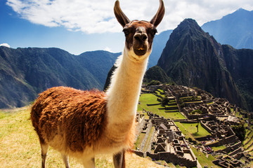 Photo sur Plexiglas Lama Lama at Machu Picchu, Incas ruins in the peruvian Andes at Cuzco