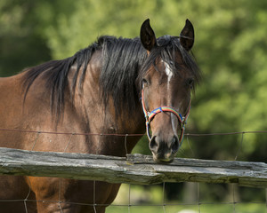 A horse looking over a fence
