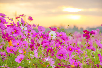 sunrise at a field of purple flower