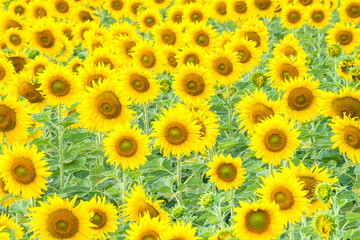 a lot of sunflower in sunflower field , Lopburi , Thailand