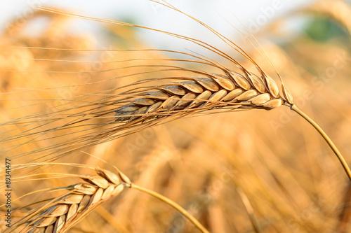 Wall mural Buğday başakları