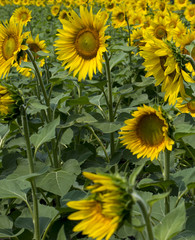 fragment of a plantation of sunflowers during blossoming