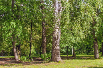 Siberian Summer Forest